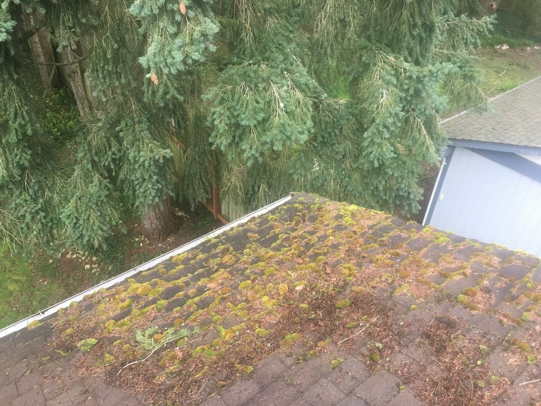 Corner of roof with heavy moss growth. Overlying tree branches providing shade and excess water, both conducive to moss growth.
